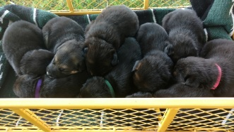 Wagon full of puppies July 6, 2018