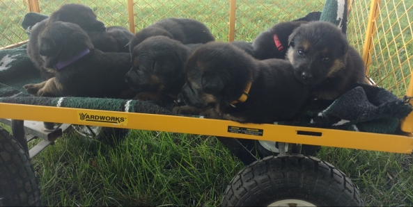 Wagon load of puppies July 6, 2018